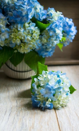 hydrangeas for farmhouse style decor