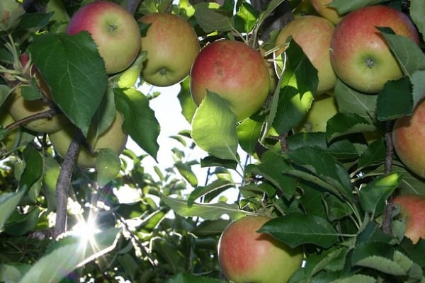 westchester apple picking orchards