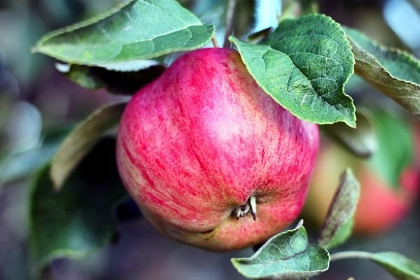 best apple picking orchards in Westchester County