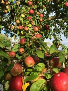 apple picking orchards in Westchester County and nearby